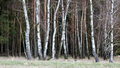 Edge of Birch Wood at Meadow - PhotoDune Item for Sale