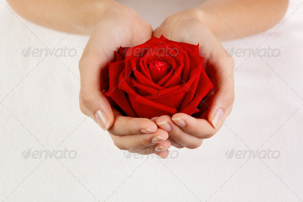 Beautiful Woman Hands With Red Rose - Stock Photo - Images