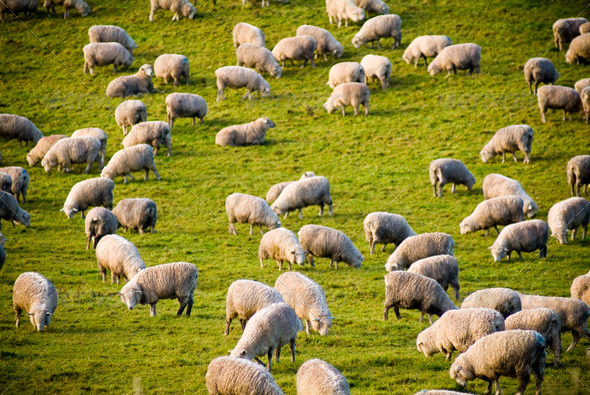 Sheep - Stock Photo - Images