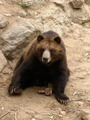 Brown Grizzly Bear - PhotoDune Item for Sale