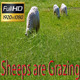 Sheeps are Grazing - VideoHive Item for Sale