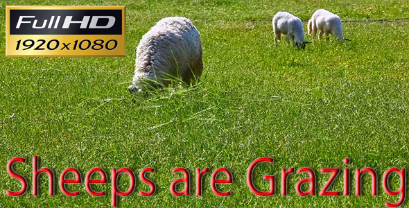 Sheeps are Grazing