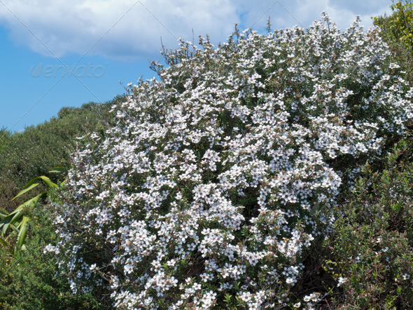 Blooming Manuka Leptospermum scoparium NZ tea tree - Stock Photo - Images