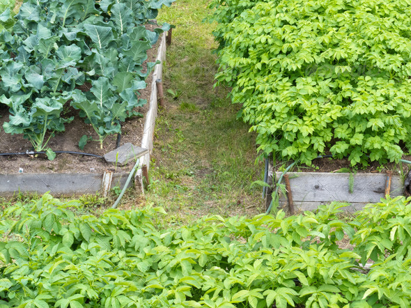 Raised beds of vegetable plants potatoes broccoli - Stock Photo - Images