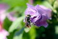 Bee on a flower with pollen - PhotoDune Item for Sale