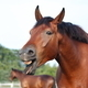 Yawning bay horse portrait in summer - PhotoDune Item for Sale