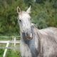 Beautiful gray horse portrait in summer - PhotoDune Item for Sale
