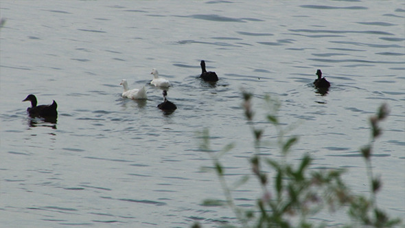 Six White and Black Ducks Floating