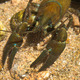 European broad-fingered Crayfish - PhotoDune Item for Sale