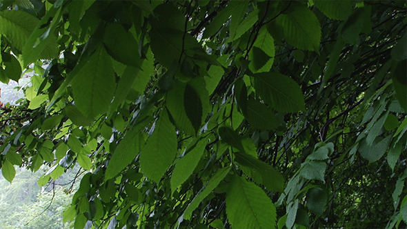 Green Alder Swaying Leaves