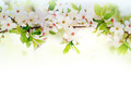 white spring flowers on a tree branch - PhotoDune Item for Sale