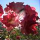 Sweet Repose Rose