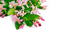 Honeysuckle with pink flowers - PhotoDune Item for Sale