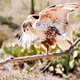 Ferruginous Hawk - PhotoDune Item for Sale