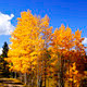 Aspens in Fall - PhotoDune Item for Sale