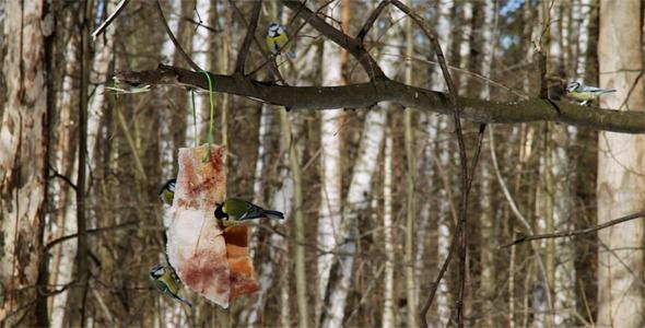Chickadees on Tree Branch