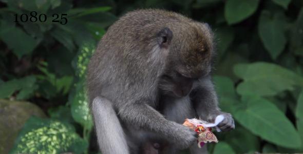 Bali Monkey 2