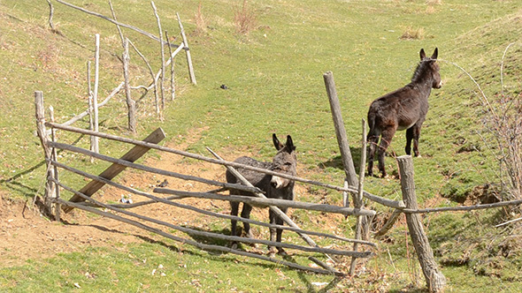Two Donkeys Near Hurdle