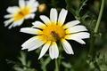 Bee on Flower - PhotoDune Item for Sale