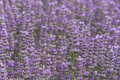 Lavender, flowers - PhotoDune Item for Sale