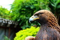 Chinese Eagle - PhotoDune Item for Sale