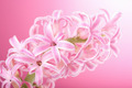 pink hyacinth flower - PhotoDune Item for Sale