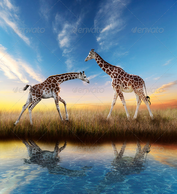 PhotoDune Two Giraffes At Sunset 4496128