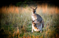 Kangaroo and Joey - PhotoDune Item for Sale
