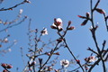 Spring Flowering Tree with Blue Sky - PhotoDune Item for Sale