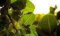 Sunlight Leaves - PhotoDune Item for Sale