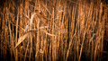 Brown Reeds - PhotoDune Item for Sale
