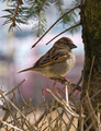 Small Sparrow - PhotoDune Item for Sale