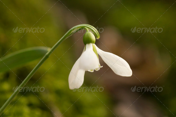 Close up of single snowdrop  - Stock Photo - Images