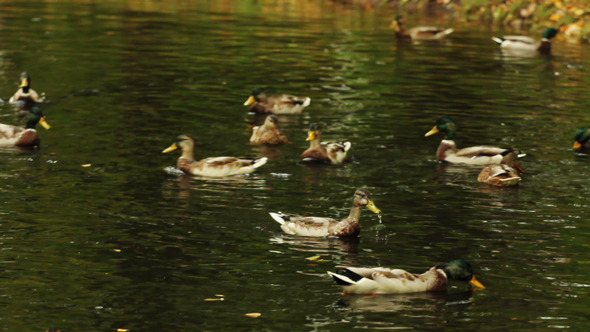 Ducks Swimming on The Forest Lake