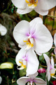 white orchid in Thailand - PhotoDune Item for Sale