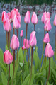 Pink spring tulips - PhotoDune Item for Sale