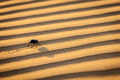 Scarab (Scarabaeus) beetle on desert sand - PhotoDune Item for Sale