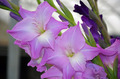 Pink and purple gladiolas - PhotoDune Item for Sale