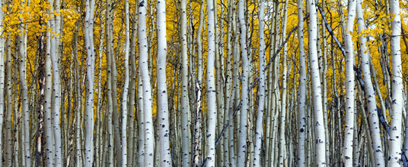Colorado apsen forest in fall