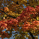 Autumn Maple Tree - VideoHive Item for Sale