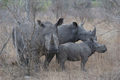 Rhino Father, Mother And Baby - PhotoDune Item for Sale