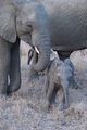 Baby Elephant With Mother 3 - PhotoDune Item for Sale