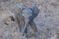 Rare Baby Elephant 3 - PhotoDune Item for Sale