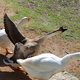 African Geese - PhotoDune Item for Sale