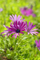 African Daisy Flower - PhotoDune Item for Sale