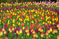 Colorful spring tulip field - PhotoDune Item for Sale