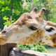 Giraffe in zoo looking at something - PhotoDune Item for Sale
