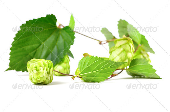 Blossoming hop - Stock Photo - Images