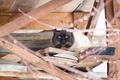 Siamese cat is hiding from the rain - PhotoDune Item for Sale