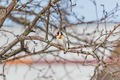 Goldfinch sitting on a branch - PhotoDune Item for Sale